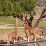 Girafe maman et bébé girafe trop petit !!