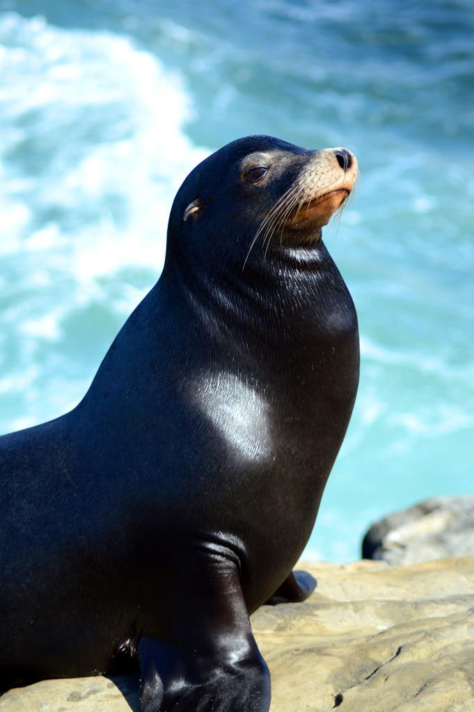 Lion de mer à La Jolla