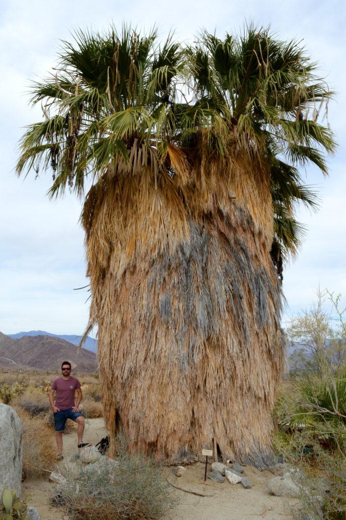 Palmier californien gigantesque