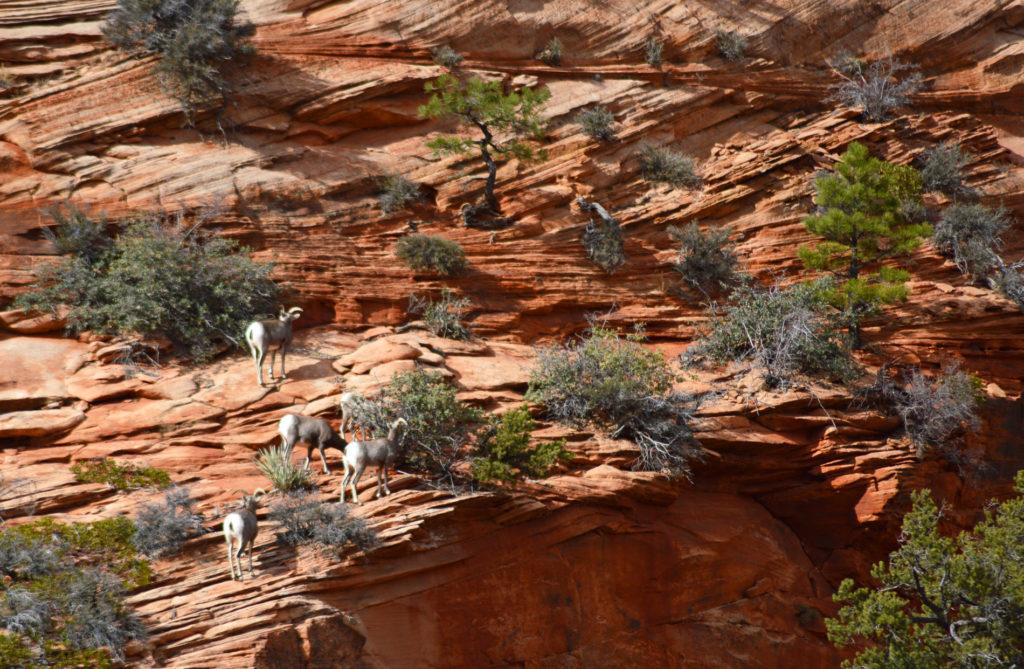 chèvres sur les falaises