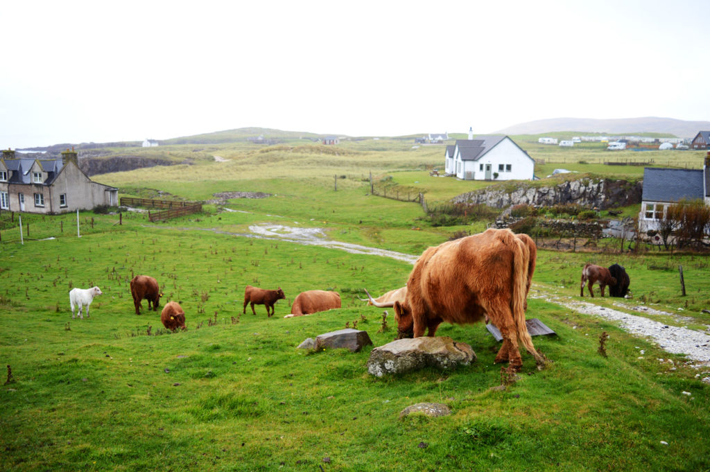 vaches highlands