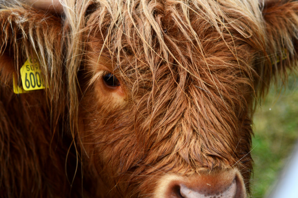 gros plan vache highland