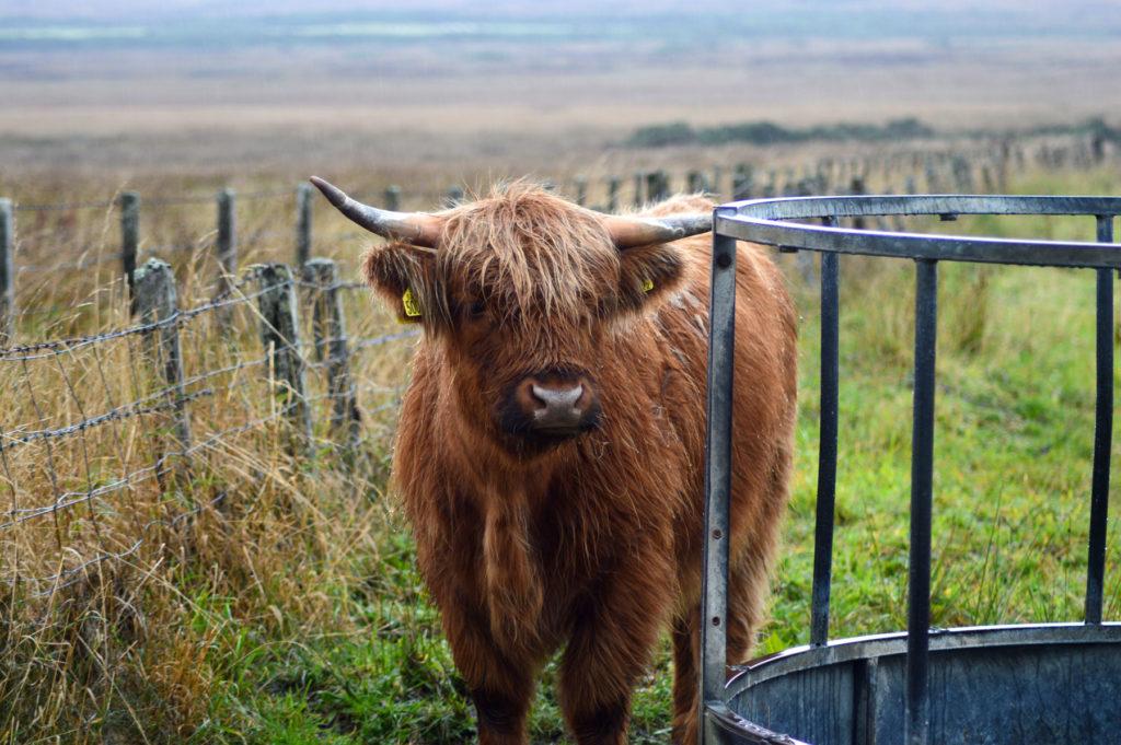 vache highland
