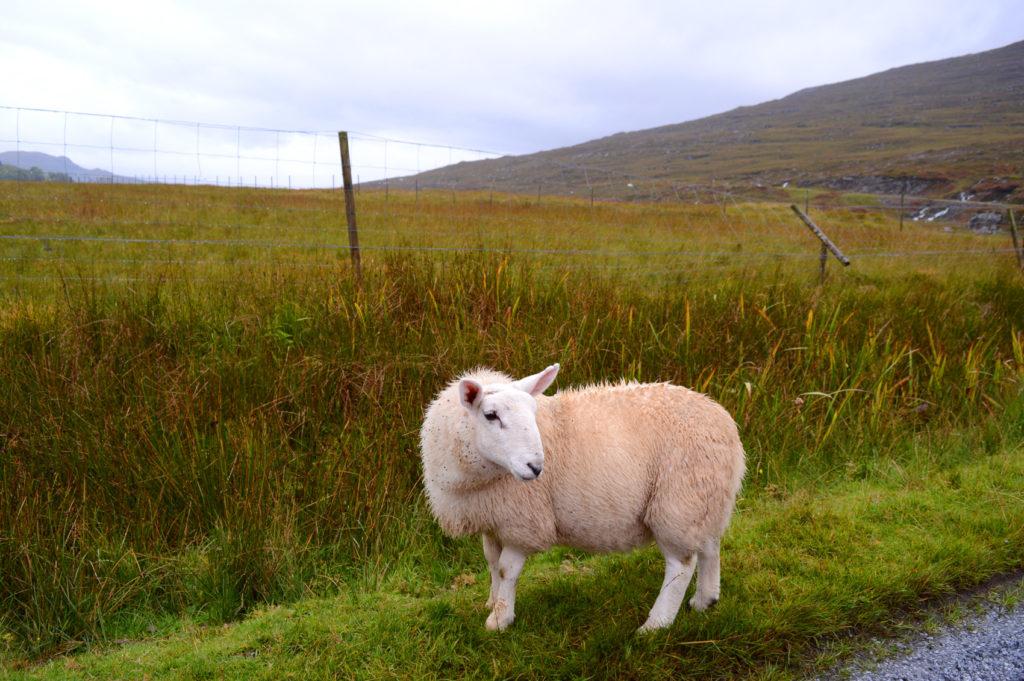 mouton au bord de la route