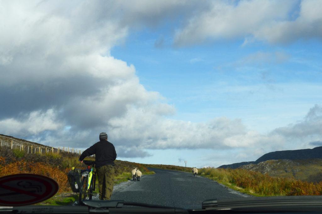 moutons et homme à vélo sur la route