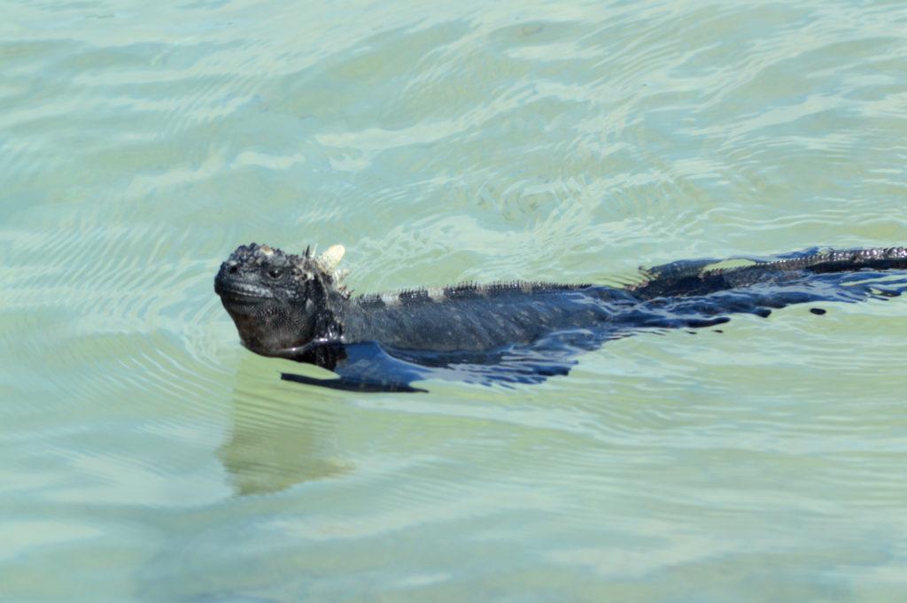 iguane dans l'eau