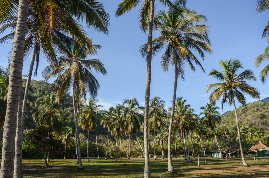 palmiers dans les caraibes de tayrona