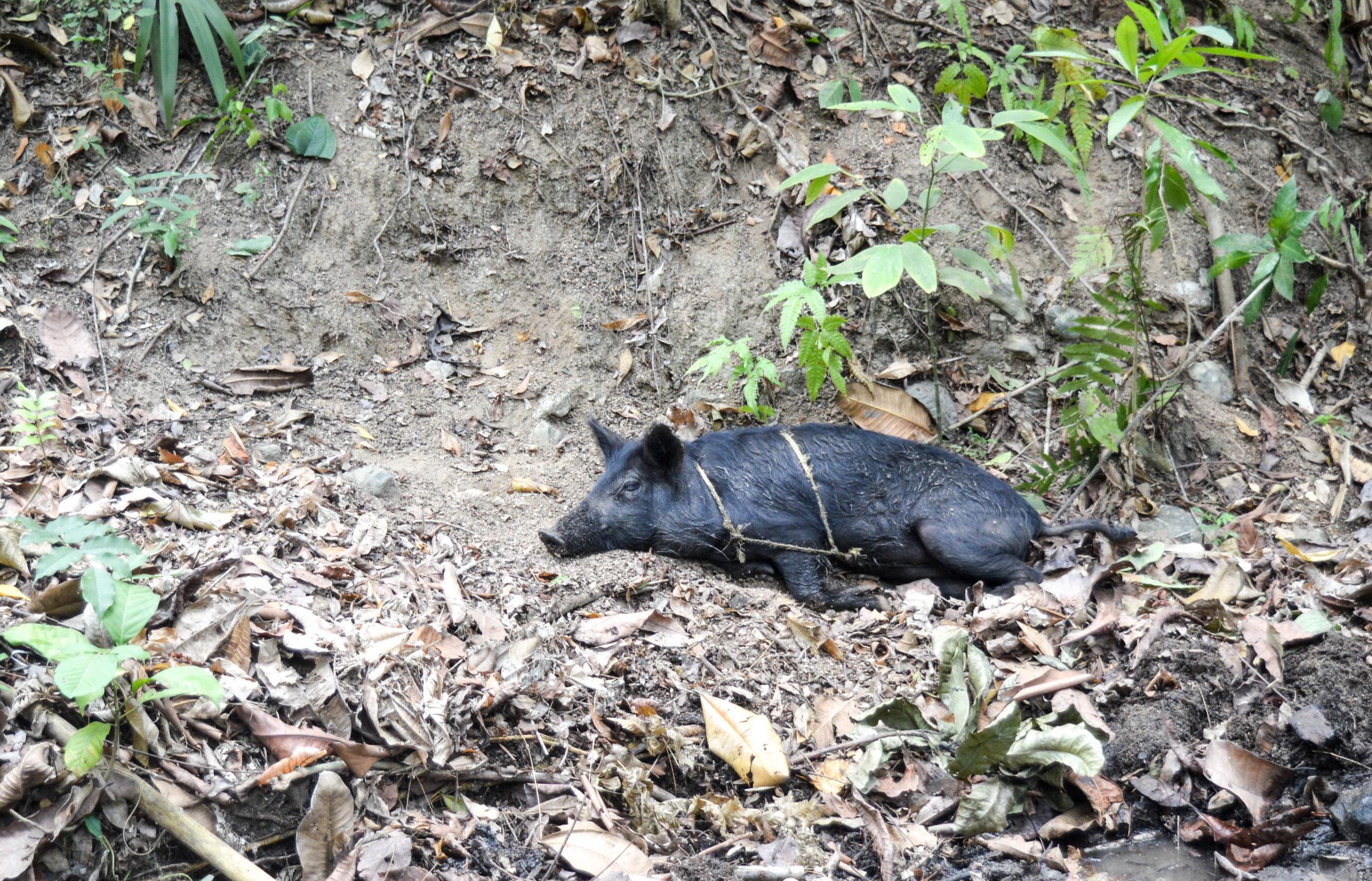 cochon dans la forêt tropicale, parc tayrona