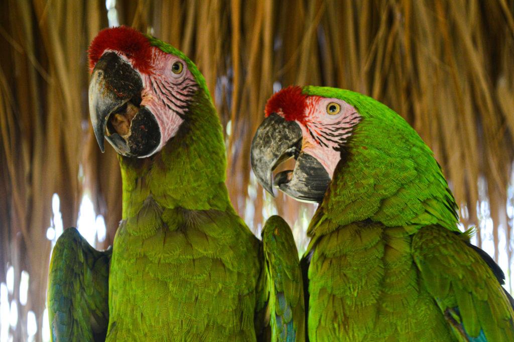 perroquets verts, Aluxes Ecopark, palenque, chiapas