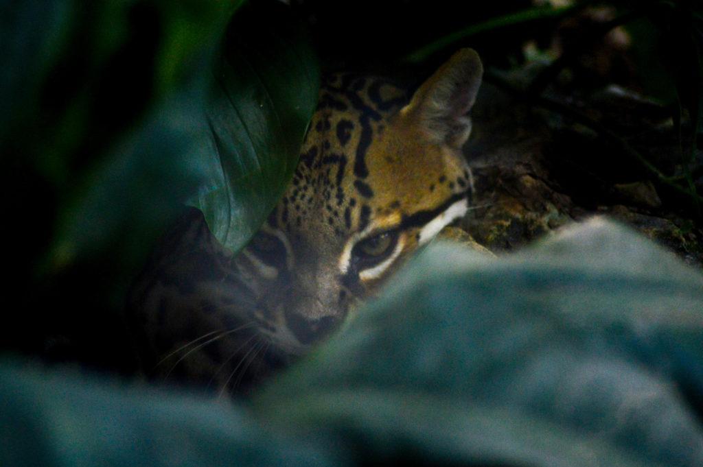 ocelot, Aluxes Ecopark, palenque, chiapas