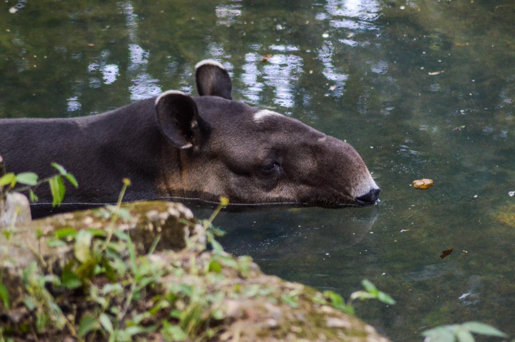 tapir dans l'eau, Aluxes Ecopark, palenque, chiapas