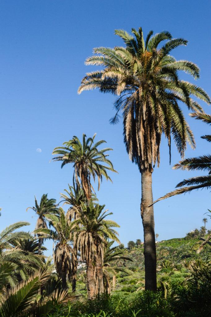 palmiers et ciel bleu à Tenerife, Canaries